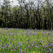 camas blue flowers and trees
