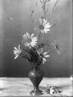 Nature study of daisies, photograph by Annie Girling (Saanich Archives 2008-025-033)