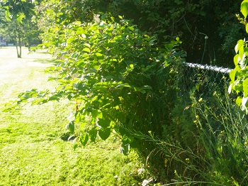 Knotweed along fence line of park