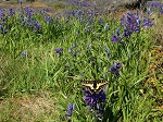 Western Tiger Swallowtail resting on Camas flower in Mount Tolmie Park