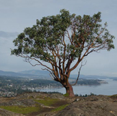 Arbutus Tree at top of Mount Douglas Park with view overlooking the ocean